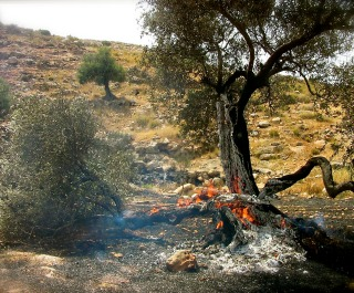 Olive_Tree_Burning320x265.jpg